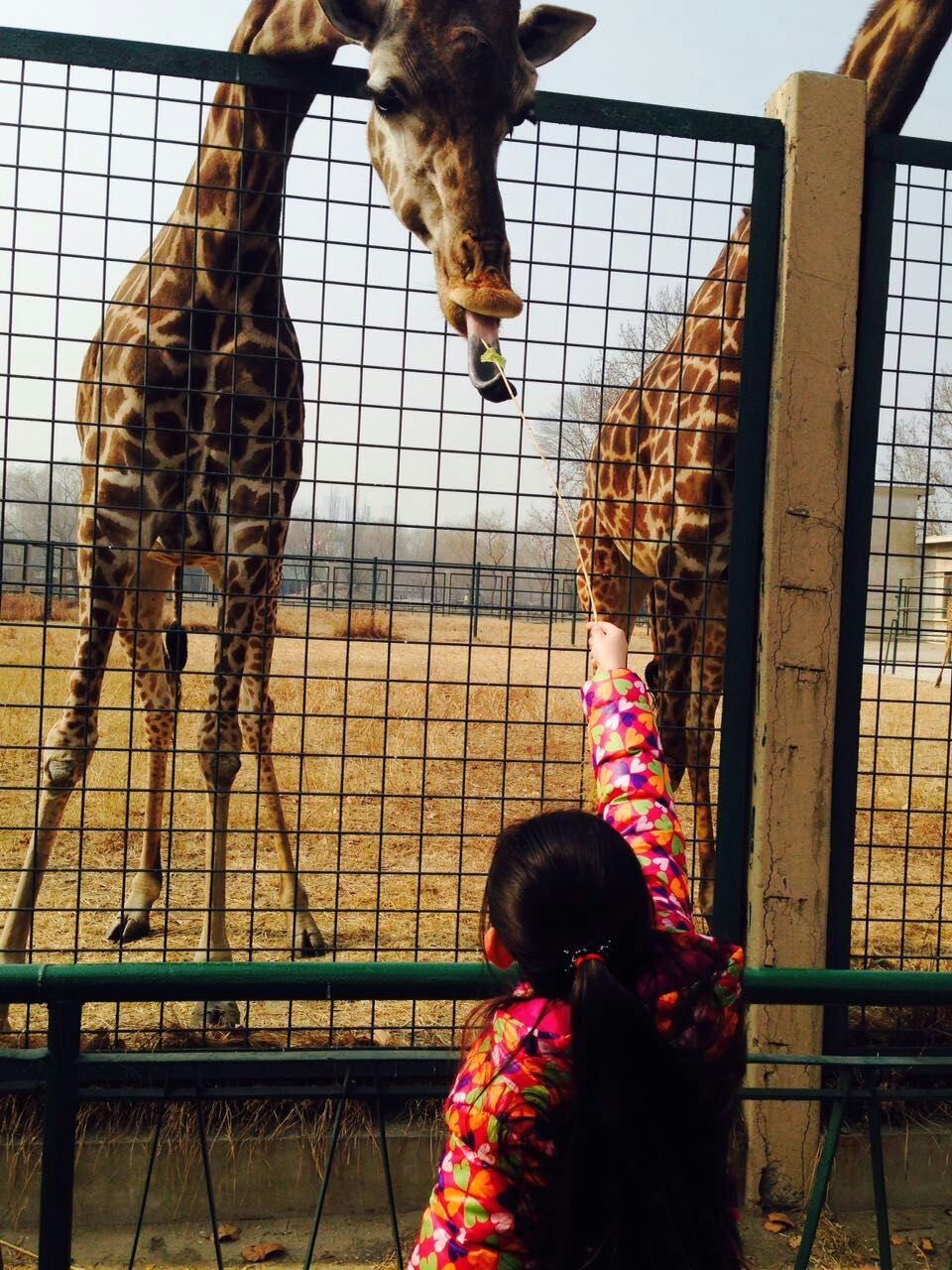 在天津动物园,我喂长颈鹿
